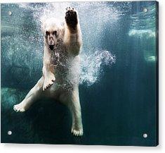 Polarbear In Water Acrylic Print by Henrik Sorensen