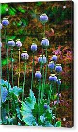 Poppy Seed Pods Acrylic Print