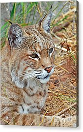 Portrait Of A Bobcat Acrylic Print by Jim Fitzpatrick