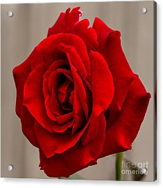 Portrait Of A Rose Acrylic Print by Dave Bosse
