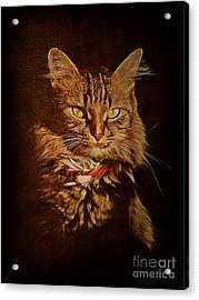 Portrait Of A Tramp Cat Acrylic Print
