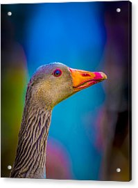 Portrait Of Greylag Goose, Iceland Acrylic Print by Panoramic Images