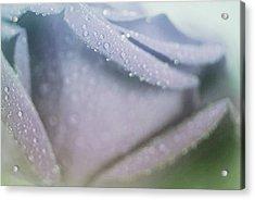 Powdery Blue Rose Acrylic Print