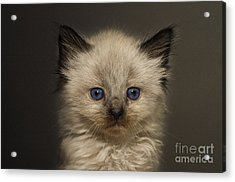 Precious Baby Kitty Acrylic Print