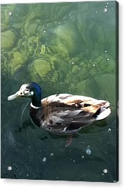Pretty  Duck Acrylic Print by Deb Groesbeck