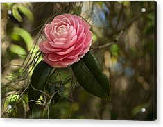 Pretty In Pink Acrylic Print by Frank Feliciano