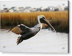 Pretty Pelican Acrylic Print by Paulette Thomas