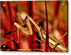 Praying Mantis  Acrylic Print by Geraldine Scull