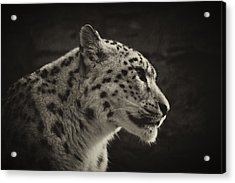Acrylic Print featuring the photograph Profile Of A Snow Leopard by Chris Boulton