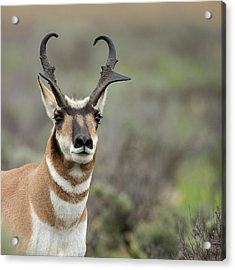 Pronghorn Buck Showing Territorial Acrylic Print