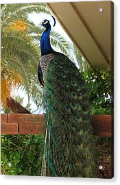 Proud Peacock Acrylic Print by Laurel Powell