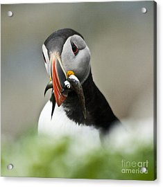 Puffin With Fish Acrylic Print by Heiko Koehrer-Wagner