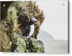Puffins On The Islet Of Mykines, Faroe Acrylic Print