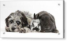 Puppy And Rabbits Acrylic Print