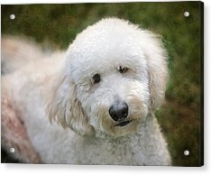 Puppy Portrait Acrylic Print by Larry Marshall