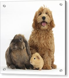 Puppy, Rabbit And Guinea Pig Acrylic Print by Mark Taylor