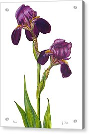 Purple Bearded Iris Acrylic Print