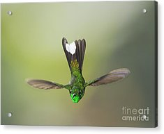 Purple-bibbed White-tip Hummingbird Acrylic Print by Dan Suzio