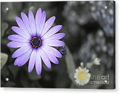 Purple Daisy Acrylic Print by Design Windmill