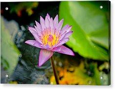 Purple Lotus  Acrylic Print by Raimond Klavins