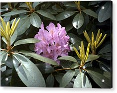 Purple Rhododendron Acrylic Print