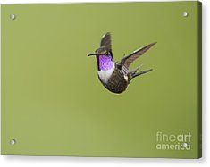 Purple-throated Woodstar Hummingbird Acrylic Print by Dan Suzio