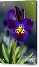 Purple Viola Acrylic Print