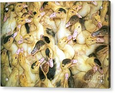 Quacks Acrylic Print