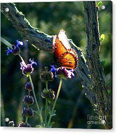 Queen Butterfly Acrylic Print by Marilyn Smith