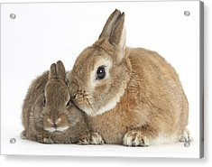 Rabbit And Baby Rabbit Acrylic Print