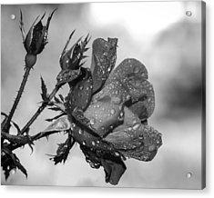 Raindrop Rose Close-up Acrylic Print by Charles Feagans