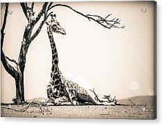 Reclining Giraffe Sepia Acrylic Print by Mike Gaudaur