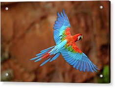 Red And Green Macaw Flying Acrylic Print by Pete Oxford