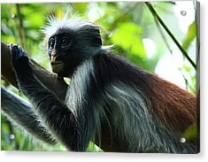 Red Colobus Monkey Acrylic Print