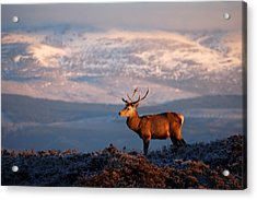 Red Deer Stag Acrylic Print