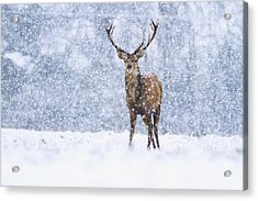 Red Deer Stag In Snowfall Derbyshire Uk Acrylic Print