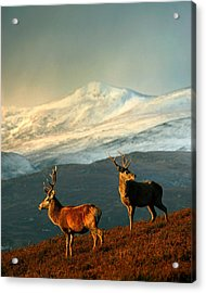 Red Deer Stags Acrylic Print