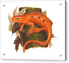 Red Eft Acrylic Print by Cindy Hitchcock