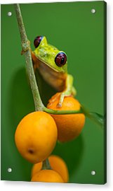 Red-eyed Tree Frog Agalychnis Acrylic Print by Panoramic Images