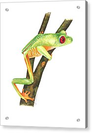 Red-eyed Treefrog Acrylic Print by Cindy Hitchcock