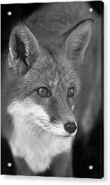 Acrylic Print featuring the photograph Red Fox  by Brian Cross