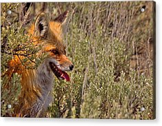 Acrylic Print featuring the photograph Red Fox In Sage by Aaron Whittemore