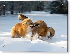 Red Foxes Interacting In Snow Acrylic Print by Dr P. Marazzi/science Photo Library