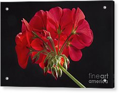 Red Geranium In Progress Acrylic Print by James BO  Insogna