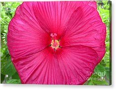 Red Hibiscus Series 2 Acrylic Print