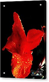 Red Hot Canna Lilly Acrylic Print by Michael Hoard