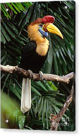 Red-knobbed Hornbill Acrylic Print by Art Wolfe