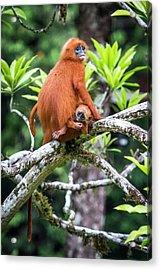 Red Leaf Monkeys Acrylic Print by Paul Williams
