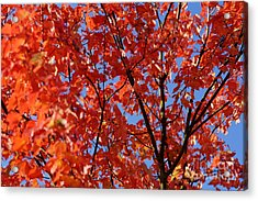 Red Leaves Of Autumn Acrylic Print by David Birchall