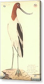 Red-necked Avocet Acrylic Print by Natural History Museum, London